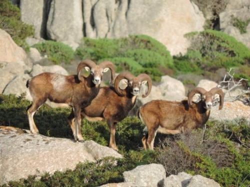 Mufloni Asinara